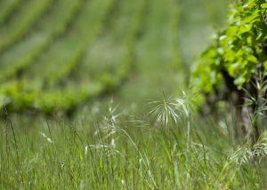 The grass in the vineyard at Domaine de la Mordorée