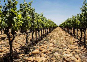 A row of the vineyard at Domaine de la Mordorée