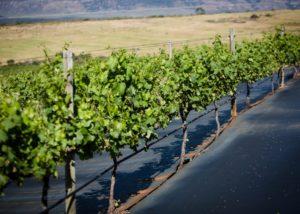 waverley hills slender rows of grapevines on vineyard near winery