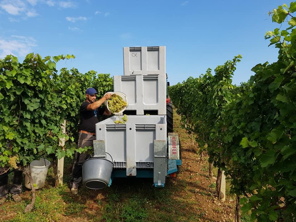 weingut alphart grape harvesting process on the vineyard near winery