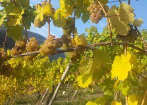 weingut geierslay stunning and lush vineyards on vineyards near winery