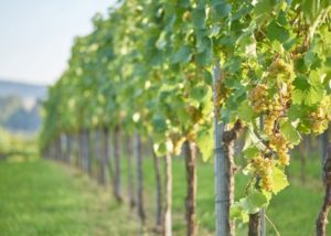 weingut heninger slender rows of grapevines in the vineyard