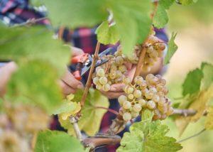 weingut heninger winemaker cuts ripe white grapes in the vineyard