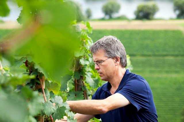 weingut karl veit winemaker cares after grapevines in the vineyard
