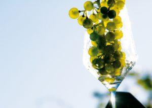 weingut thüringer beautiful grapes on the vine near winery