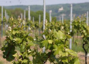 weingut thüringer amazing and lush grapevines on the vineyard near winery