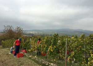 weingut werk winemakers harvesting grapes on the vineyard near winery