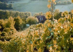 weinhaus am main amazing and lush vineyards near winery in germany