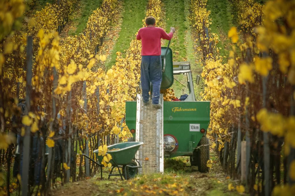 weinrieder winemaker working in the vineyard near winery during harvest