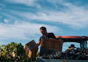 windows estate winemakers harvest ripe grapes on the vineyard near winery