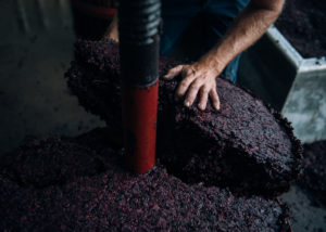 windows estate ripe black grapes pressing in the winery in australia