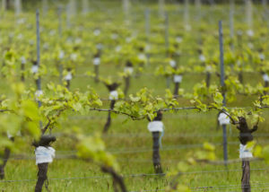 windows estate slender rows of vines on the vineyard near winery