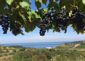 zaro wines ripe black grapes on vine on vineyard near winery