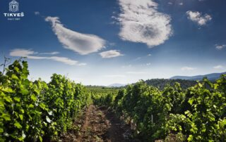tikveš winery amazing and lush vineyard near winery in macedonia