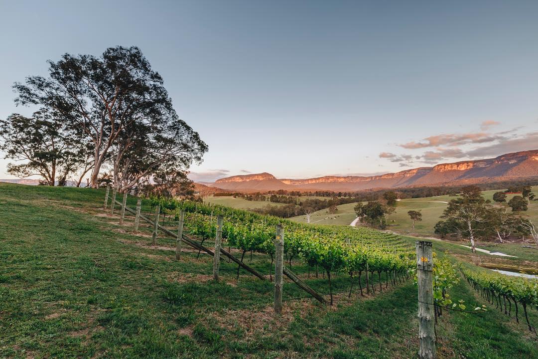The vineyard of Dryridge Estate at sunset
