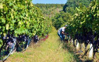 Staffs of vaeni naoussa winery working in vineyard