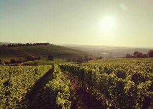 Vineyard of Weingut Schmitt Bergtheim winery.