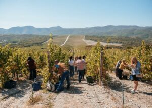 Vineyard of Abrau-Durso winery