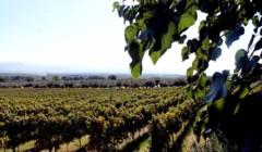 Vineyard of the Azienda Agricola Fratelli Davoli winery