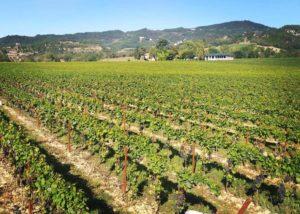 Vineyard of the Azienda agricola Teo Costa - Giobbe winery