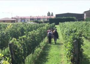 Beautiful vineyard of the azienda agricola vicentini agostino winery