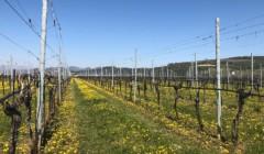 Vineyard of the azienda agricola vicentini agostino winery