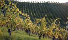 Bio-Dynamisches Weingut Tauss-vineyard