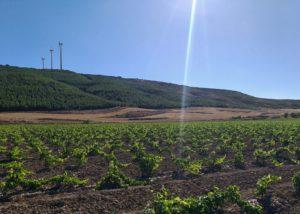 Vineyard of Bodega inurrieta winery
