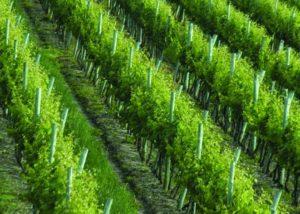 Vineyard of Bodega marichal winery