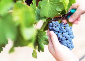 grapes at bodega pago de cirsus