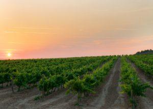 vineyard of bodega pago de cirsus