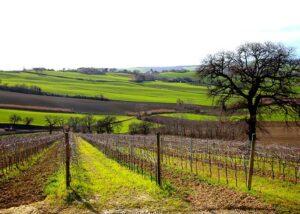 Vineyard of Bruscia Vini winery