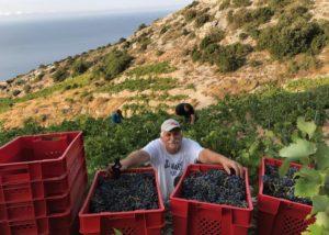 Harvested grapes at Bura Mrgudic winery