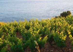 Vineyard of the Bura Mrgudic winery