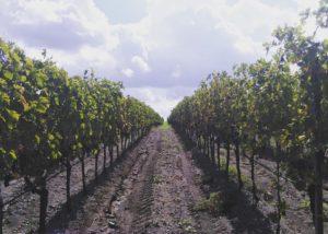Vineyards of cantina gaffino winery
