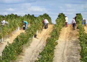 Working in the vineyard of Casa Ermelinda Freitas Vinhos winery