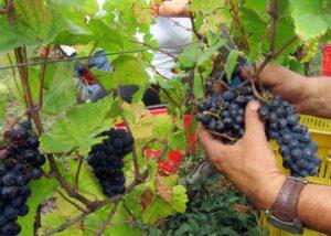 harvesting at casè