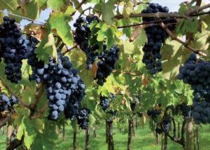 grapes of castorani
