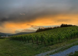 Vineyard view of the catoctin breeze vineyard