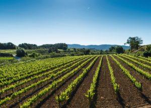 Vineyard of Celler eudald massana noya winery