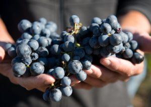 Black grapes of the Château de Gaudou winery
