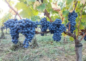 chateau La Rose Monturon-grapes