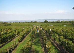 Beautiful vineyard of the Château Loudenne winery