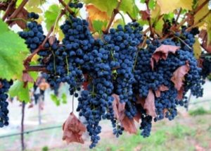 Black grapes of the Chona's Marani winery