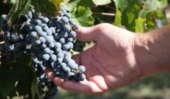 A Man Holding a Bunch of Grapes at Cooperativa Falset-Marçà I Secció De Crèdit, Afalma