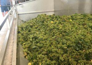White grapes of the Corte adami winery