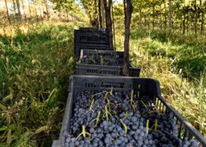 Freshly harvested black grapes at Degani F.lli di Degani Aldo Winery
