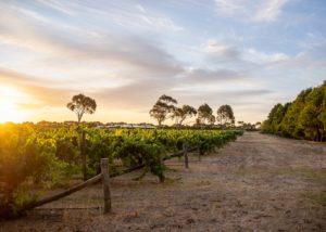 Vineyard at Domaine Naturaliste winery