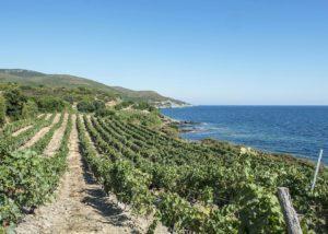 Vineyard of the DOMAINE TERRA di CATONI winery