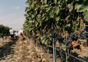 Vineyard of the Et Cetera winery